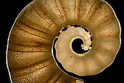 [Digital focus stacking] The Tail-Light Squid Shell (Spirula spirula) has a chambered, delicate shell. If the shell remains in one piece it can quite easily be spotted in the sand, as with a diameter of about 1 cm it stands out from the rest of the grains. Raja Ampat, Indonesia. Approx. 10 mm diagonally  [size of single organism: 12 mm] | Das zur Gruppe der Tintenfische (Cephalopoden) gehörende Posthörnchen (Spirula spirula) hat eine gekammerte. filligrane Kalkschale, die nach dem Absterben des Tieres im Sediment verbleibt und zu einem Teil des Sandes wird. Da es mit etwa einem Zentimeter Schalendurchmesser größer als die anderen Sandpartikel ist, kann es leicht entdeckt werden, wenn man das Glück hat, eine intakte Schale zu finden. Raja Ampat, Indonesien. Bilddiagonale etwa 10 mm