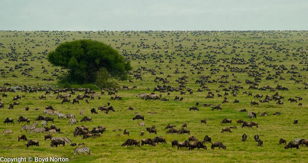 Wildebeest and zebras in the Serengeti Plains during migration. Serengeti National Park, Tanzania