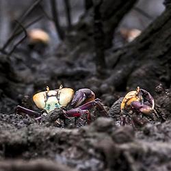 Caranguejo-uçá (Ucides cordatus) no manguezal de Vitória, Espírito Santo, Brasil.<br /> ENGLISH: Ucides mangrove crab in the mangroves of Vitória, Espírito Santo, Brazil.