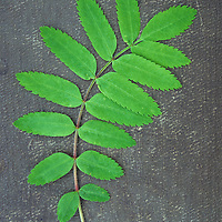 Single sprig of fresh spring green leaves of Rowan or Mountain ash or Sorbus aucuparia tree lying on tarnished board