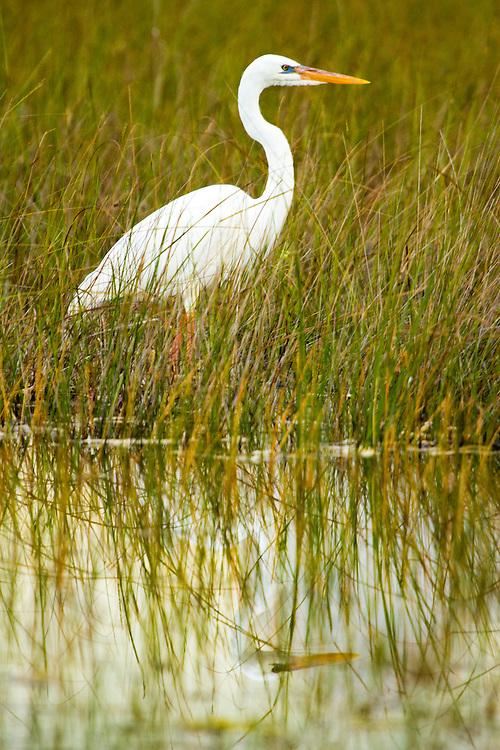 Great White Egret, Everglades National Park.<br /> Birding in the Everglades and Florida Keys. Everglades