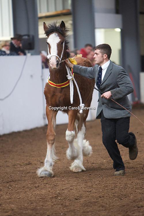 North West and Wales Shire Foal Society Show 2012<br /> Mr W D Griffith's Trem-Y-Wyddfa Midnight Beauty<br /> f 16/05/12<br /> Sire   Milnerfield Sir William<br /> Dam    Trem-y-Wyddfa Sian<br /> 3rd Filly Foal Class