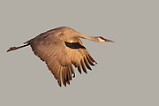 Stock photo of sandhill crane captured in New Mexico.  The sandhill crane is the oldest known bird species.