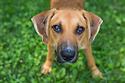Outdoor portrait of a hound dog mix rescue.
