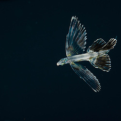 Flyingfish, Unknown, Juvenile