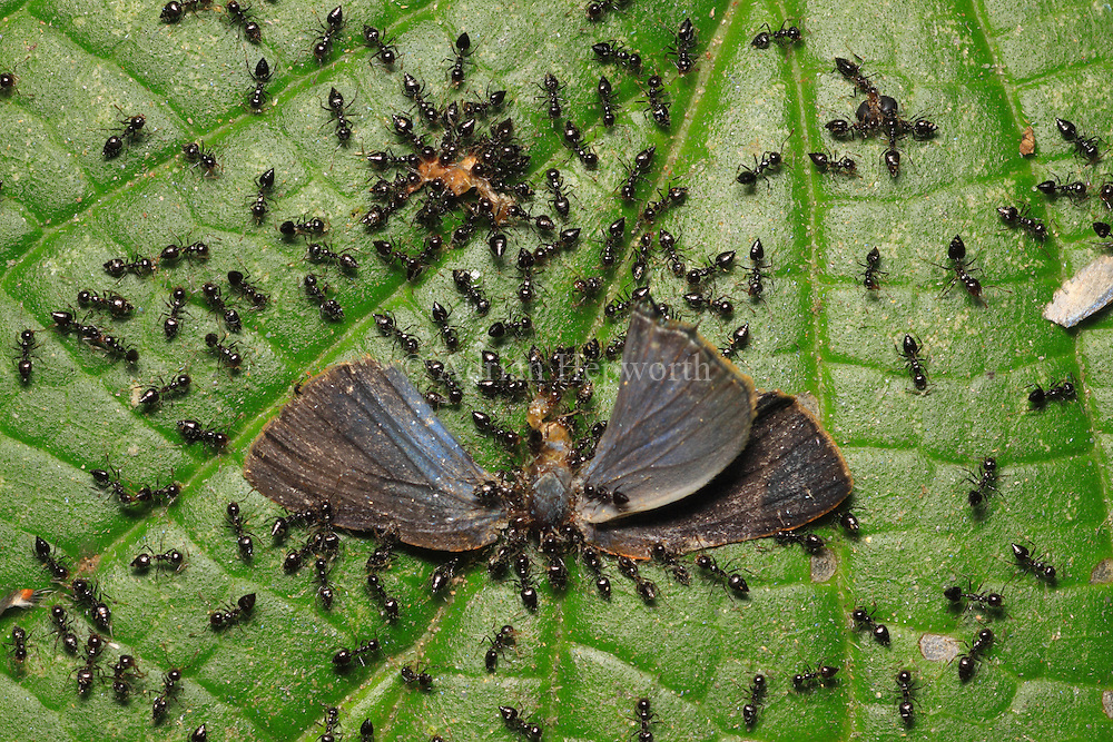Ants taking apart a dead butterfly in rainforest.  Corcovado National Park, Osa Peninsula, Costa Rica. <br />