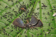 Ants taking apart a dead butterfly in rainforest.  Corcovado National Park, Osa Peninsula, Costa Rica. <br /> <br /> For pricing click on ADD TO CART (above). We accept payments via PayPal.