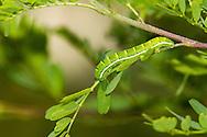 Southern Dogface (Zerene cesonia)<br /> TEXAS: Travis Co.<br /> Zilker Botanical Garden; Austin<br /> 2-May-2015<br /> J.C. Abbott &amp; K.K. Abbott