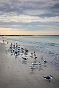 Royal terns and Laughing Gulls shoreline and beach at Anna Maria Island, Florida, USA