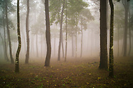 Pinus forest in Ba Vi National Park during a foggy day, Vietnam, Southeast Asia