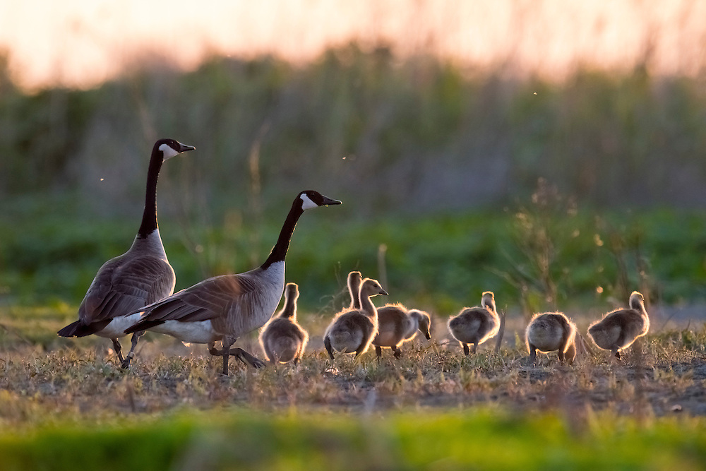 Canada Geese, Branta canadensis, adults & goslings, Pointe Mouillee, Michigan