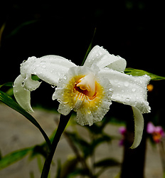 "Limon Province: Rain on an orchid adds a touch of light to the Rainforest Aerial Tram property. Blossom is known as the ""one day flower"" or ""one day orchid"" because it lasts only one day, opening in the early morning, and fading to nothing by the end of the day."