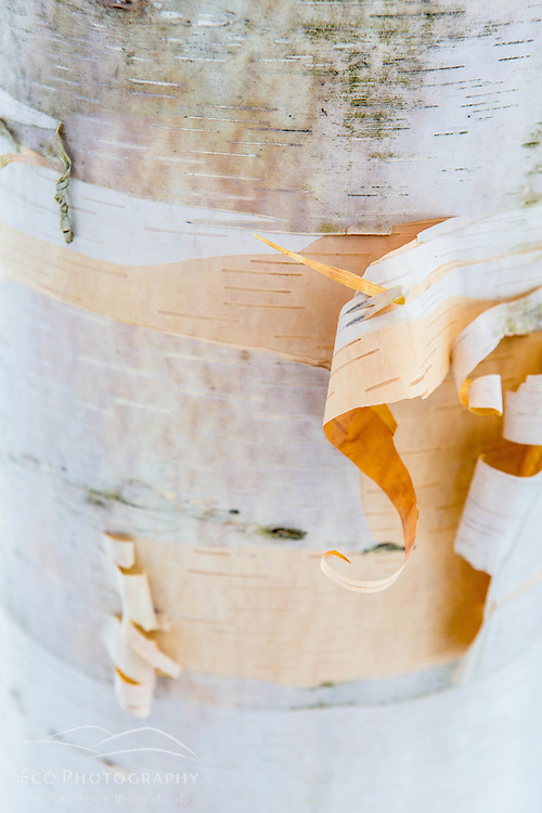 The bark of a paper birch tree, Betula papyrifera, in Vermont's Green Mountains. Shrewsbury, Vermont. Jim Jeffords State Forest.