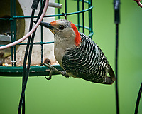 Red-bellied Woodpecker. Image taken with a Nikon D5 camera and 600 mm f/4 VR lens (ISO 1600, 600 mm, f/5.6, 1/500 sec).
