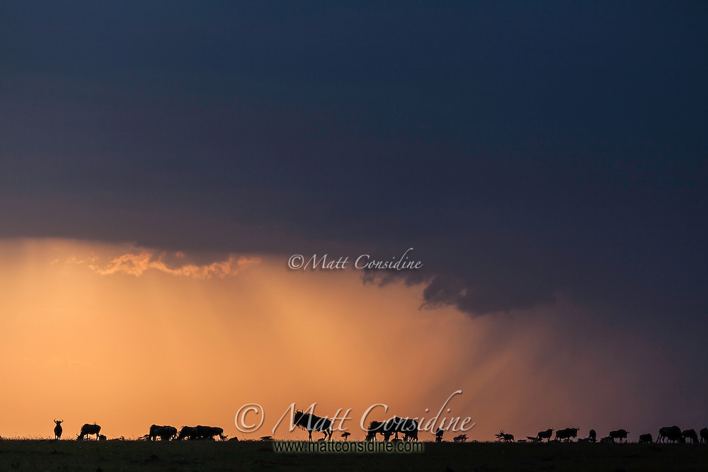 Wildebeest silhouetted against orange light on the horizon by an dramatic storm with heavy cloud cover and rain in the Masai Mara, Kenya, Africa (by Wildlife Photographer Matt Considine)