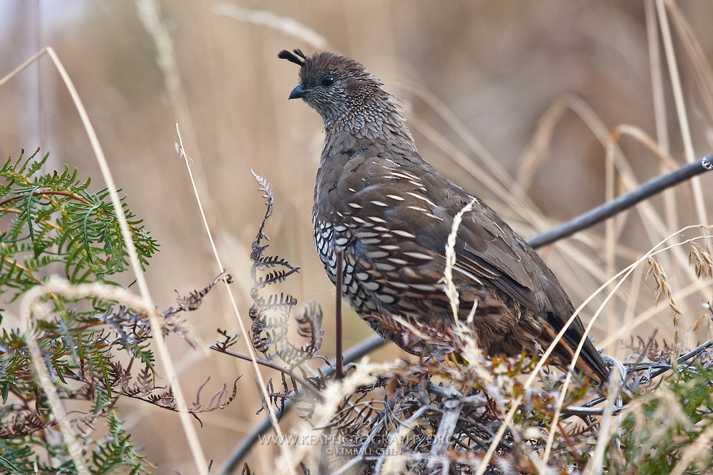 California Quail, New Zealand