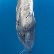 This is a sperm whale (Physeter macrocephalus) defecating while hanging in a vertical position.