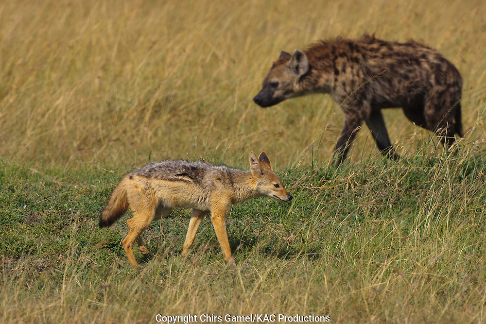Spotted hyaena walking past a black-backed jackal.