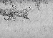 Six month old Cheetah cubs, Acinonyx jubatus,<br /> Huluhulwe Game Reserve,<br /> South Africa