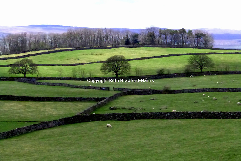 A symphony of green fields and violet-hued hills in the Yorkshire Dales. The intricate bare canopies of the three evenly-spaced mature trees in the middle distance, silhouetted against the fresh green grass, together with the windbreak of tall trees hugging the brow of the hill and the regular pattern of traditional dry stone walls creates a striking graphic pattern in the landscape.<br /> <br /> Date taken: 30 April 2013.