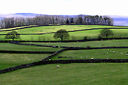 A symphony of green fields and violet-hued hills in the Yorkshire Dales. The intricate bare canopies of the three evenly-spaced mature trees in the middle distance, silhouetted against the fresh green grass, together with the windbreak of tall trees hugging the brow of the hill and the regular pattern of traditional dry stone walls creates a striking graphic pattern in the landscape.<br />