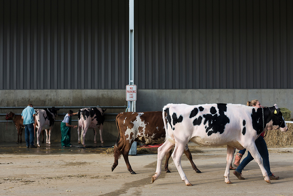 Cows are walked outside the exhibition hall during the World Dairy Expo in Madison, Wisconsin, U.S., October 3, 2018.  REUTERS/Ben Brewer