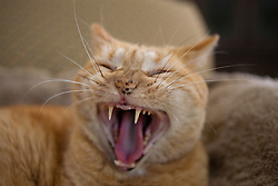 Portrait of an orange ginger domestic short hair Mackrel Tabby Cat (Felis cats) yawning and showing teeth.