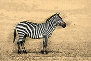 Digitally enhanced image of a Common zebra or plains Zebra (equus granti) Photographed in Kenya, Masai Mara