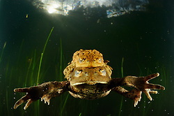 This pair of common European toads (Bufo bufo) has met during the migration to their habitual spawning lake. The much smaller male was lucky to find a female that did not already carry one or more mates, as the gender ratio in this species shows a strong excess of males. Thus a good grip, the amplexus, is the key to reproduction success and he will kick and croak at every daring rival. The female on the other hand is responsible for carriage &ndash; by land as in the water.<br /> Each year in the early springtime many adult common European toads arrive at this small lake amidst the old trees of a mixed woodland. They just close their translucent haw, or nictitating membrane, over their eyes to protect them and they are ready to dive, looking for the ideal spot to place their egg-strings. For my part, I had to drive to the Solling in the Central German Uplands by car and laboriously dress in a dry suit to submerge in the 4&deg;C cold water.    Erkr&ouml;ten-Paar (Bufo bufo) im Laichgew&auml;sser   Generell sind Arten besonders gef&auml;hrdet, die eine grosse Zeit im Wasser.verbringen, sei das als Larve oder als Adulttier. Bei der heimischen Erdkr&ouml;te wurde Der Chytridiomykose Erreger (Batrachochytrium dendrobatidis) bereits nachgewiesen. Es ist leider noch nicht klar, wann und unter welchen Bedingungen es zum Ausbruch der Krankheit kommt. Dies d&uuml;rfte von unz&auml;hligen Faktoren wie Eigenheiten der Amphibienarten, Klima, Umweltbedingungen, Habitateigenschaften etc. abh&auml;ngen.