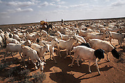 A nomad leads goats and sheep to new grazing ground in rural Somaliland. More than half the country's 3.5 million population are nomadic pastoralists with livestock being the country's major export..