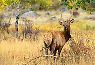 Young Spike Elk enjoying his breakfast