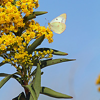 An Orange Sulphur Butterfly, Colias eurytheme, with wings folded feeding on Seaside Goldenrod, Solidago sempervirens. Lavalette, New Jersey, USA