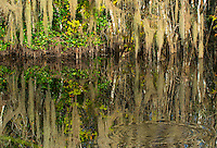 Cypress Swamps at the Everglades National Park Florida. These waters are teaming with fish and one can hear these large fish cause ripples