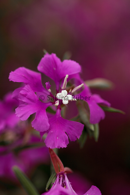 Clarkia pulchella 'Fairy Mixture' - farewell-to-Spring
