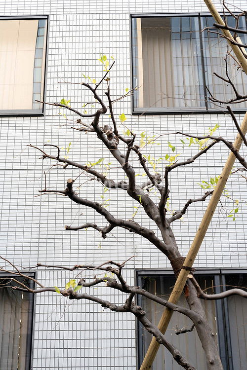 bare tree starting to leaf sprouting in urban environment