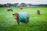 Jersey cows in coats
