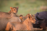 A lion cub portrait with his pride and the killed buffalo with beautiful sunrise light in Masai Mara Reserve, Kenya, Africa<br /> &copy;Claudio Zamagni