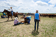 Rancher, John L. Moore, quarter horse, Simon, ropes and drags calves to fire, cattle branding, wrestlers, Angie Dauben, ear tags, Deb Singleton, vaccinate, Lazy TL Ranch, north of Miles City, Montana