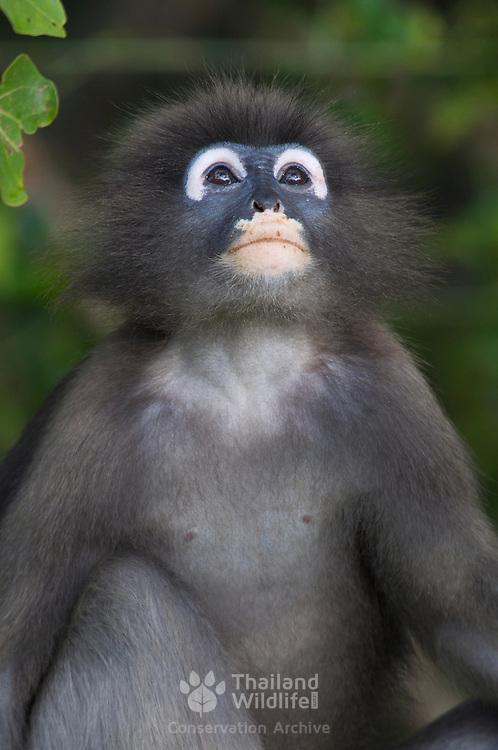 Wild Dusky, or Spectacled Langur or Dusky Leaf-monkey (Trachypithecus obscurus) at Khao Sam Roi Yot National Park, Thailand.
