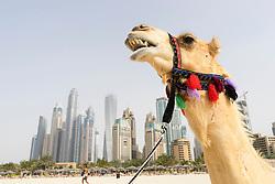Tourist camel on beach at Marina district of New Dubai in United Arab Emirates