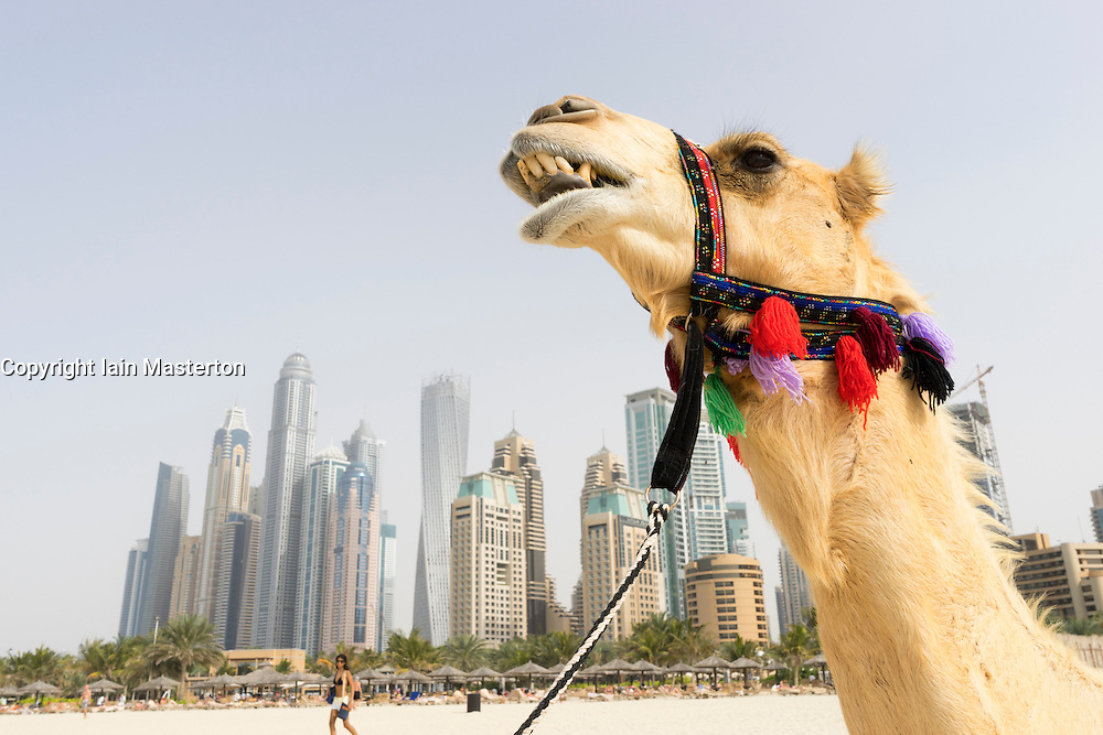 Tourist camel on beach at Marina district of New Dubai in United Arab Emirates