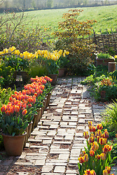 Path in the brick garden at Glebe Cottage with pots of tulips. Tulipa 'Prinses Irene' and 'Yellow Purissima'