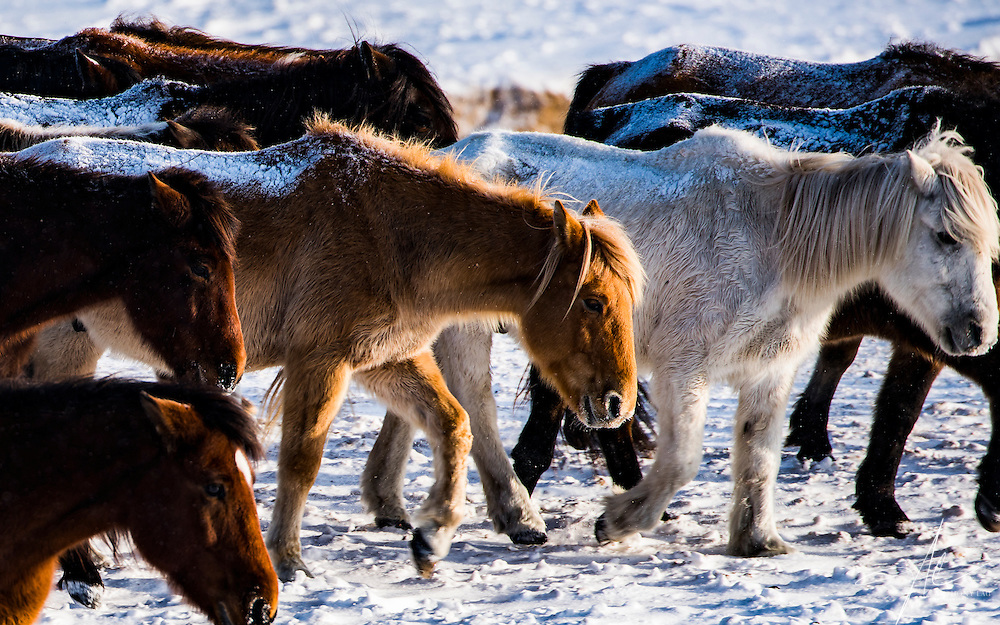 Horses galloping on frozen grassland in Inner Mongolia