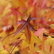 """Colors of Sweetgum"" <br />