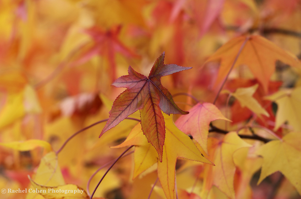 &quot;Colors of Sweetgum&quot; <br />