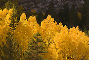 Golden fall aspens along Bishop Creek, Inyo National Forest, Sierra Nevada Mountains, California