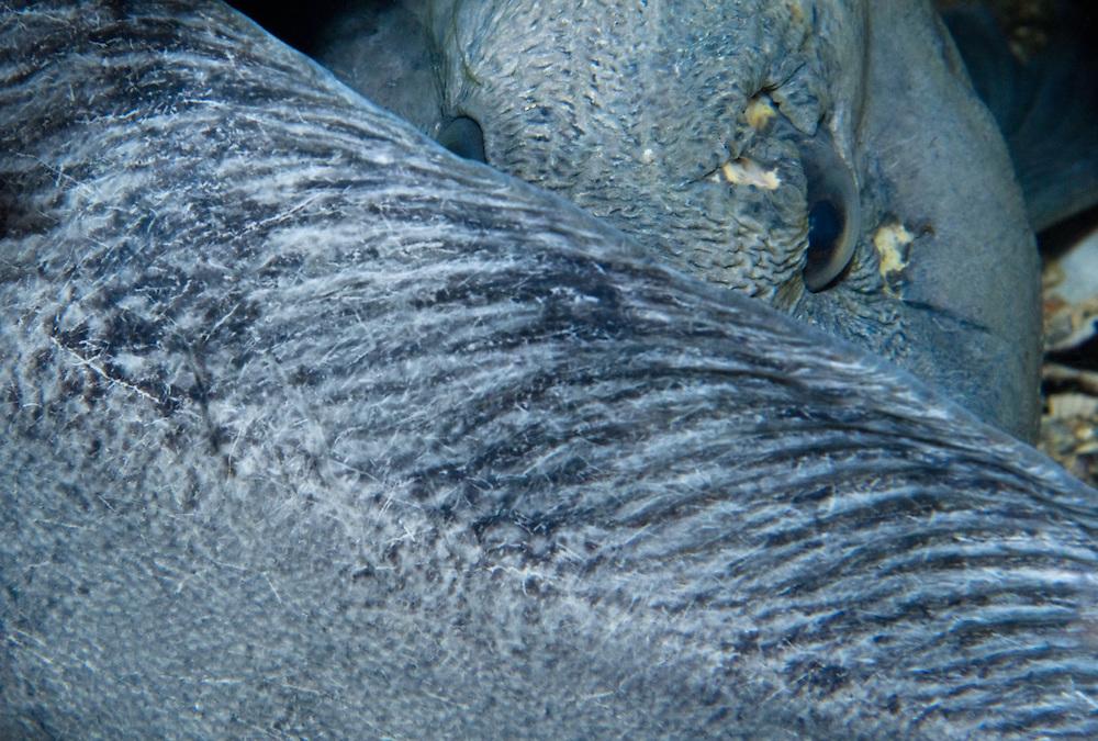Atlantic wolffish, Anarhichas lupus<br /> Atlantic marine life, Saltstraumen, Bod&ouml;, Norway