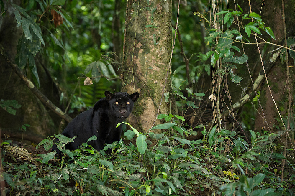 Black Panther or Black Jaguar (Panthera onca) WILD, NON-BAITED.<br /> Yasuni National Park, Amazon Rainforest<br /> ECUADOR. South America<br /> HABITAT &amp; RANGE:  Preferred habitat is dense rainforest. Mexico across much of Central America south to Paraguay and northern Argentina.<br /> IUCN STATUS: Near Threatened.