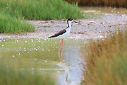 A Hawaiian stilt (Himantopus knudseni), also known as an Ae'o, is framed by grasses along the Kanaha Pond on the Hawaiian island of Maui. The stilt lives in shallow brackish ponds, mud flats and along shorelines, where it feeds on small invertebrates. The stilt is endangered, and the Kanaha Pond Wildlife Sanctuary was created to protect it and other animals.
