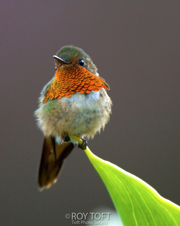 Portrait of a scintillant hummingbird (Selasphorus scintilla) perched on the end of a leaf.